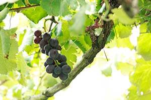 葡萄の写真